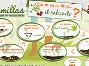 Infografía cultivo rabanitos
