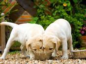 ¿Cúantas veces puede comer Perro Labrador?