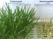 Respuestas estrés salinidad plantas