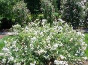 jardín sostenible (II): proyecto Earth Kind Roses, rosas cuidan así, florecen'.