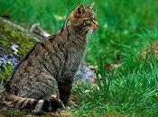 gato montés europeo