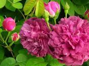 Richelieu, 'cumplido galante caballero'. rosa.