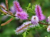 Travesura púrpura, Mimosa pudica