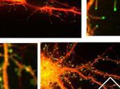 Nueva visión cómo cerebro memoriza