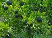 Como cultivar chirimoyas