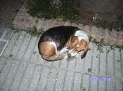 Podenca beagle calle (Huelva)