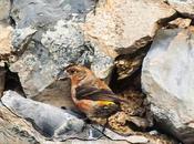 Birds navarra spain(larra pirineo)-aves pirineo navarro larra