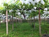 Razi agricultor: Campos uvas Yamanashi