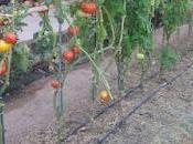 Segunda plantación tomates verano