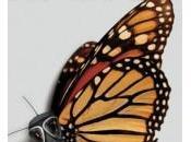 Población Mariposa Monarca reduce 80%. ¿Monsanto?