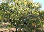ENTORNO NATURAL. Nuestros Árboles: Sorbus doméstica. 16/08/2013