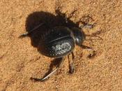 Escarabajo negro desierto Sahara (Marruecos)