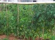 Tomates ecológicos: cuando menos díficil