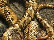 serpiente cuatro patitas