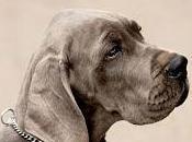 Conoce enfermedades oculares frecuentes perros