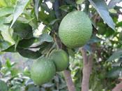 Fosfato diamónico, buena opción ecológica contra mosca fruta.