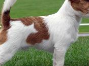 Jack Russell Terrier, perfecto compañero aventuras!
