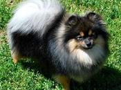 Pomerania, perro miniatura tierno todos!