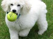 perros French Poodle; ideales para niños Averigua porque