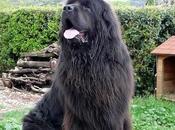 Personalidad perros Terranova conocido, Pero…