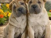 mejores razas perros piel arrugada