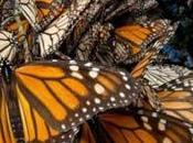 Mariposa Monarca paso Luis Potosí