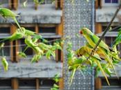 Hombre alimenta hasta 4000 Periquitos verdes salvajes diario desde casa