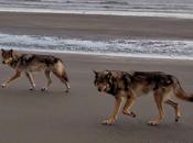 lobos costeros