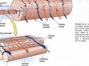 vascularización muscular