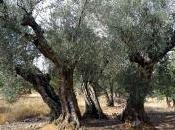 olivos ribera Jarama…