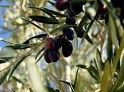 Aceitunas olivos