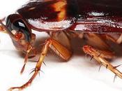 cucarachas suponen riesgo real para Salud: ¿Qué debe hacer deshacerse infestación?