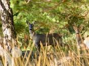 Ciervos Lobos Sierra Culebra