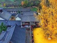 antiguo árbol Ginkgo chino despide océano hojas doradas