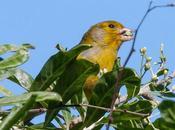 Serín canario (Serinus canaria)-Canary