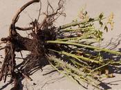 Plantación rosales: Enterrar punto injerto Opiniones Michael Marriott David Austin Roses