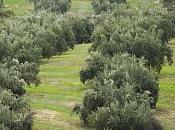 Curso sobre cubiertas vegetales olivar, protección mejora cultivo.