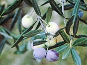 Verde oliva, ¿negra aceituna? rama