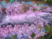 Flores cerezo inundan lago parque Inokashira Tokio