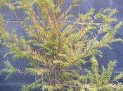 Taxus Baccata 2016