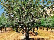 árbol Pistachos// pistachera