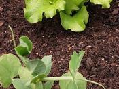 verduras creciendo.