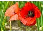 Beneficios semillas amapola cómo recolectarlas