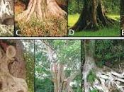Género Ficus