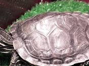 ¿Tienes tortuga?