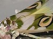 Pseudocreoboter Wahlebergi Mantis Flor
