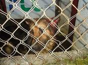 Nico, pastor alemán atacado herido perrera Jaén. URGENTE!!!