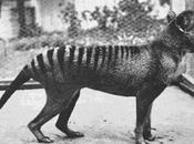 Tigre Tasmania, años después extinción