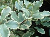 Pittosporum, género muchas especies diferentes siempre hermosas