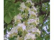 White Chestnut (Castaño Indias)